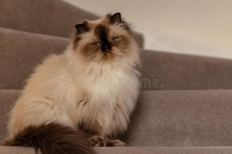 Himalayan cat with a hairstyle sits in a half-turn on stairs stock photos